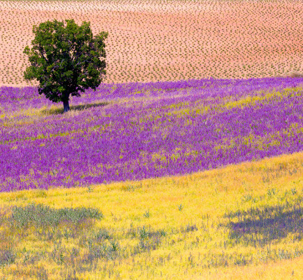 provence-lavender-tree-field-france