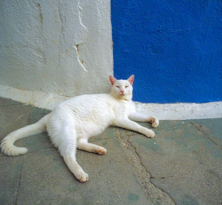white-cat-santorini-greece