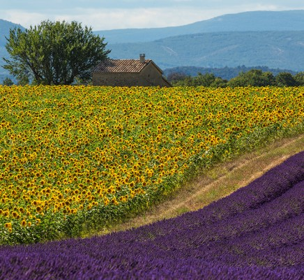 lavender and sunflowers, valensole plateau, provence, france