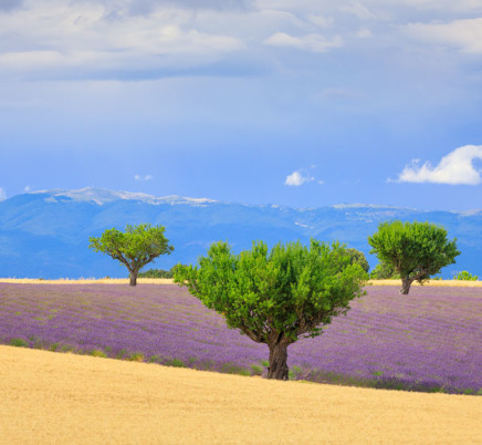 trees,wheat,lavender,valensole,provence,france