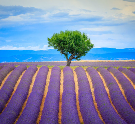 Lavender,tree,valensole,provence, france