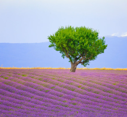 lavender, tree,valensole,provence,france