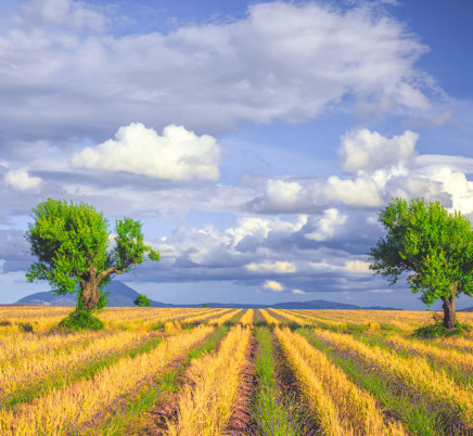 trees, wheat,lavender,valensole,provence,france